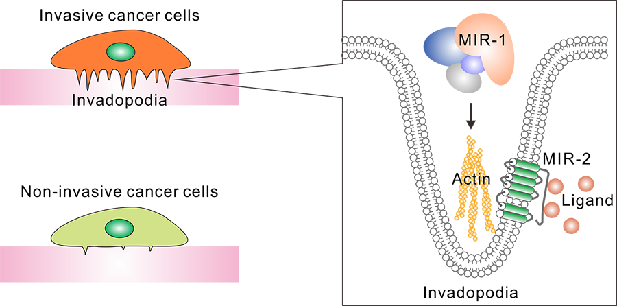 Figure 1. Antapodia Nanotherapeutics's proprietary invadopodia targets MIR-1 and MIR-2.
